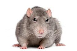113735926-rat-422.jpg